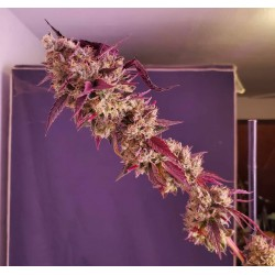 Grown By @Norcalcon